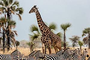 © Chem Chem Safari Lodge - Chem Chem Safari Lodge - Parc du Tarangire - Tanzanie