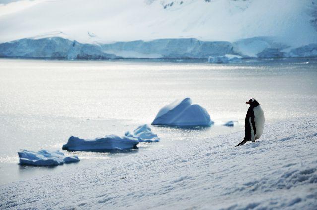 Manchot Papou sur l île Danco - Antarctique