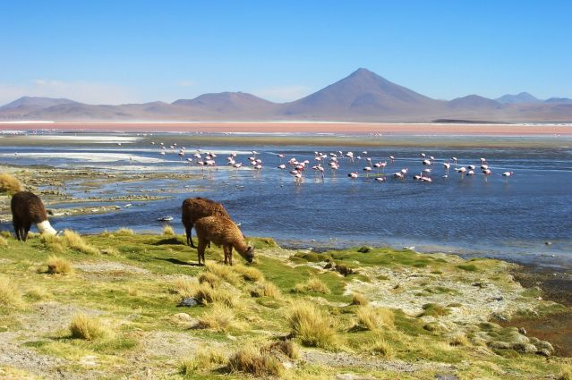 Lamas près de la Laguna Colorada - Bolivie