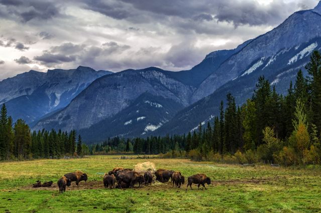 Ranch de bisons - Golden - Canada
