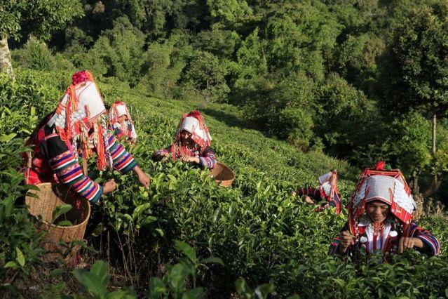 Récolte du thé - Xishuangbanna - Yunnan - Chine