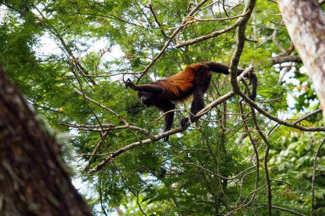 Voyage Petits baroudeurs sur la trace des singes hurleurs