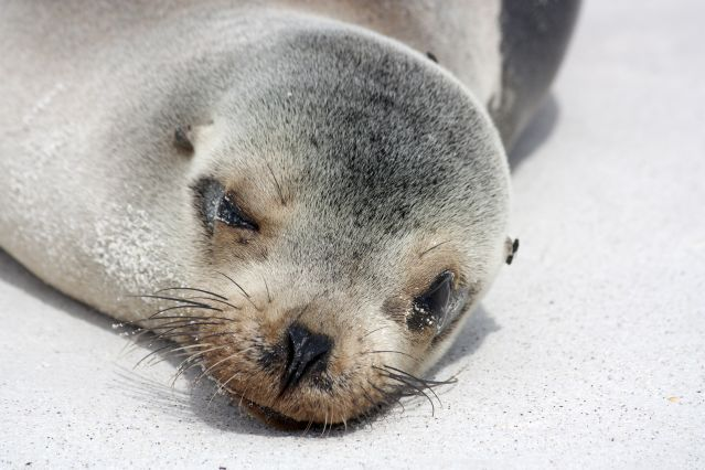 Lion de mer - Iles Galapagos - Equateur