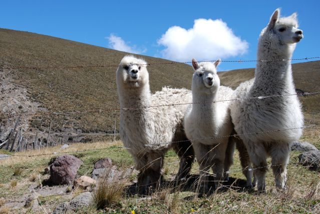 Alpagas au pied du volcan Chimborazo - Équateur