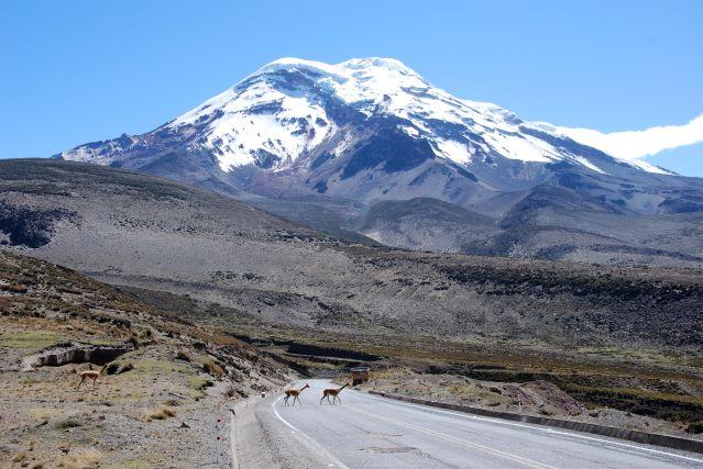 Traversée de vigognes au pied du volcan Chimborazo - Équateur