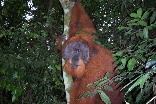 Orang Outang - Sumatra - Indonésie