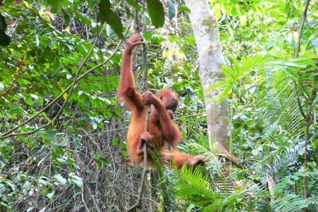 Jungle trek - Bukit Lawang - Sumatra - Grandes îles de la Sonde - Indonésie