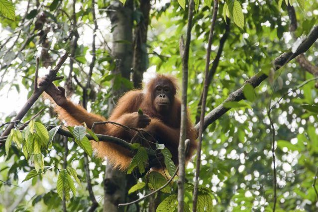 Orang-outan - Bornéo - Indonésie