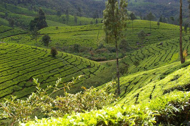 Plantations de thé - Munnar - Inde
