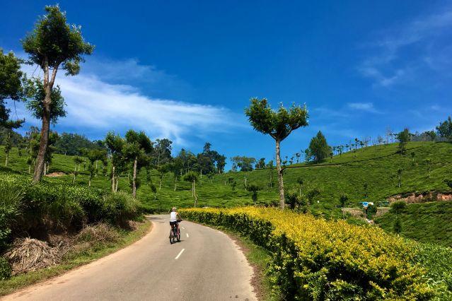 Plantation de thé - Inde