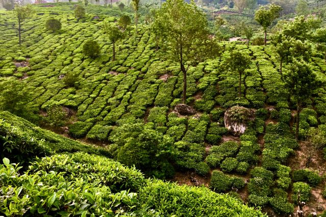 Plantation de thé - Munnar - Inde