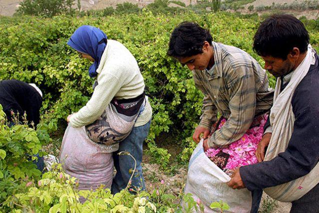 Fête des Roses en Iran