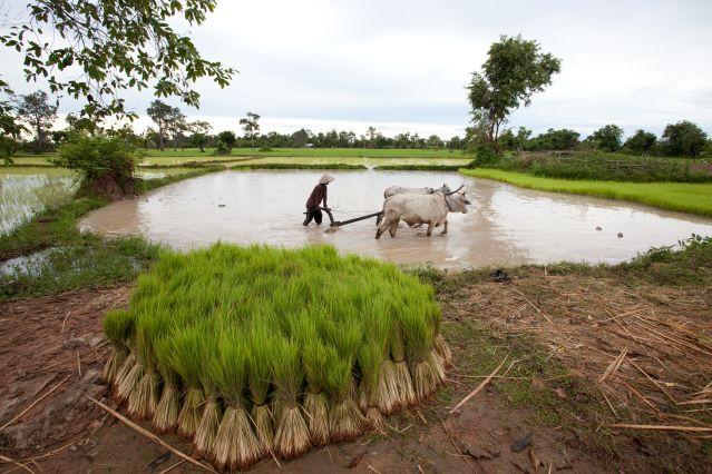 Travail dans les rizières - Cambodge