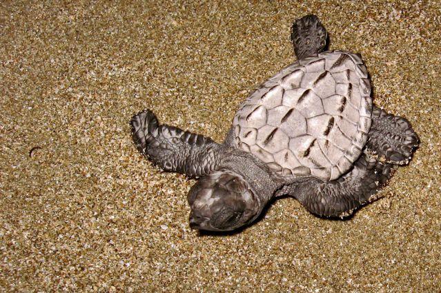 Bébé tortue - Nicaragua