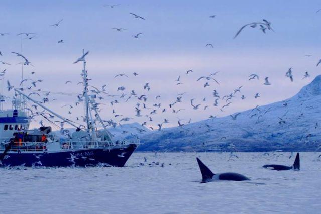 Bateau de pêcheur et orques - Norvège