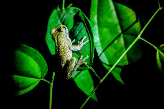 Grenouille dans la forêt tropicale de Puerto Maldonado - Pérou