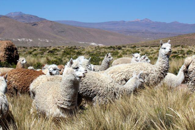 Alpaga - Altiplano - Arequipa - Pérou
