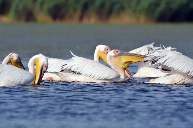 Pélicans - Delta du Danube - Roumanie