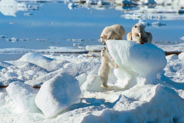 Famille d ours polaire au Spitzberg - Norvège