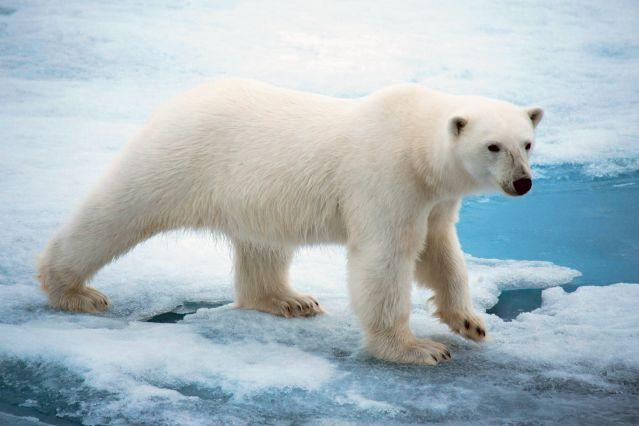 Voyage Un été avec les ours polaires