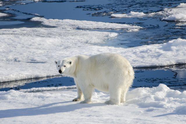 Ours polaire au large de Nordaustlandet sur la banquise dérivante - Spitzberg - Norvège
