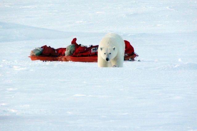 Visite d un ours polaire - Raid à ski au Spitzberg - Norvège