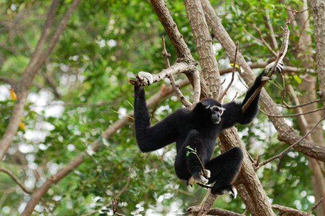 Gibbon - Thaïlande