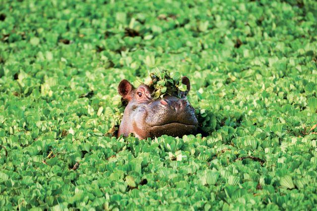 Hippopotame - Tanzanie