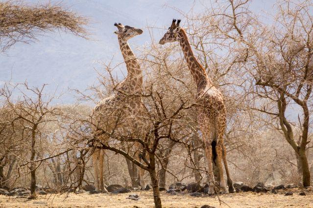 Girafes - Tanzanie