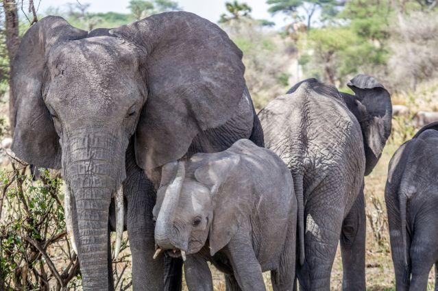 Eléphants - Parc national du Tarangire - Tanzanie