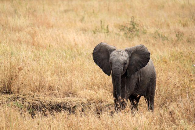 Eléphanteau au parc du Serengeti - Tanzanie