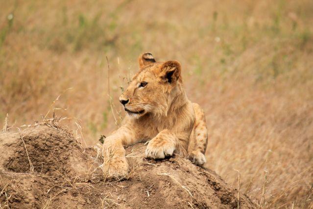 Lionne au parc du Serengeti - Tanzanie