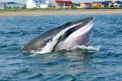 Observation des baleines sur le Saint-Laurent