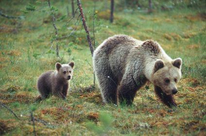 Observation des ours bruns à Paljakka