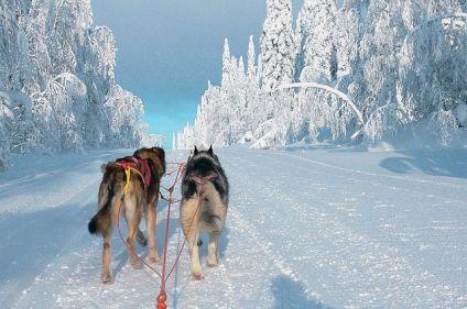 Traîneau à chiens dans la forêt boréale