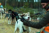 Expérience de la vie de musher en Finlande