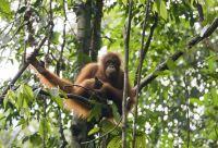 Bornéo, chez les orangs-outans
