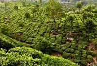 Kerala : rando, épices et plantations de thé