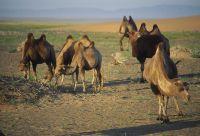 Randonnée chamelière dans le désert de Gobi