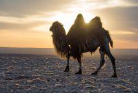 Méharée dans le désert de Gobi