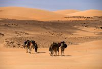 Randonnée chamelière dans l'Adrar