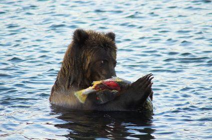 Ours et volcans du Kamtchatka