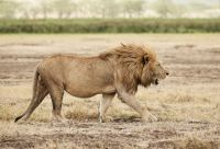 Rencontre avec le roi de la savane et Zanzibar