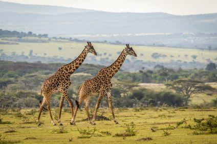 Pays masaï et safaris dans les parcs du nord