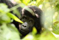 Ouganda - Rwanda, spécial primates