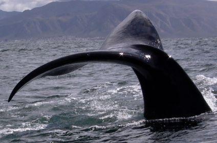 Lions et baleines : les deux mon capitaine !