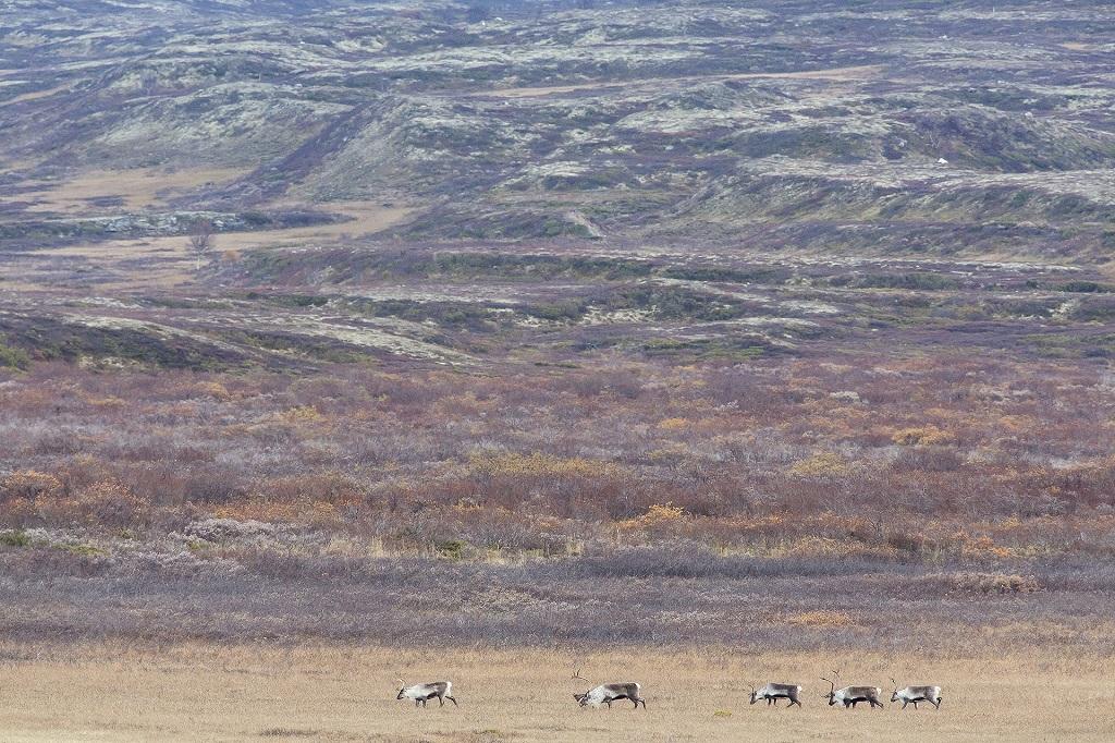 Les véritables nomades de la toundra : les rennes sauvages. Il en reste une poignée en Norvège et ils parcourent des dizaines de kilomètres par jour
