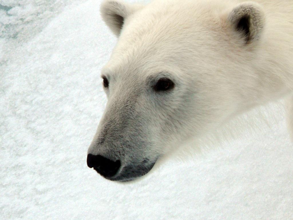 Observation d'un ours polaire - ©Cornélie Monnet