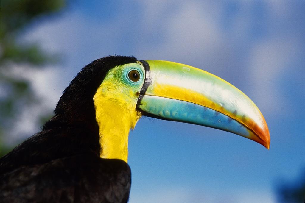 Un Toucan, au Panama - ©Autoridad de Turismo Panamá