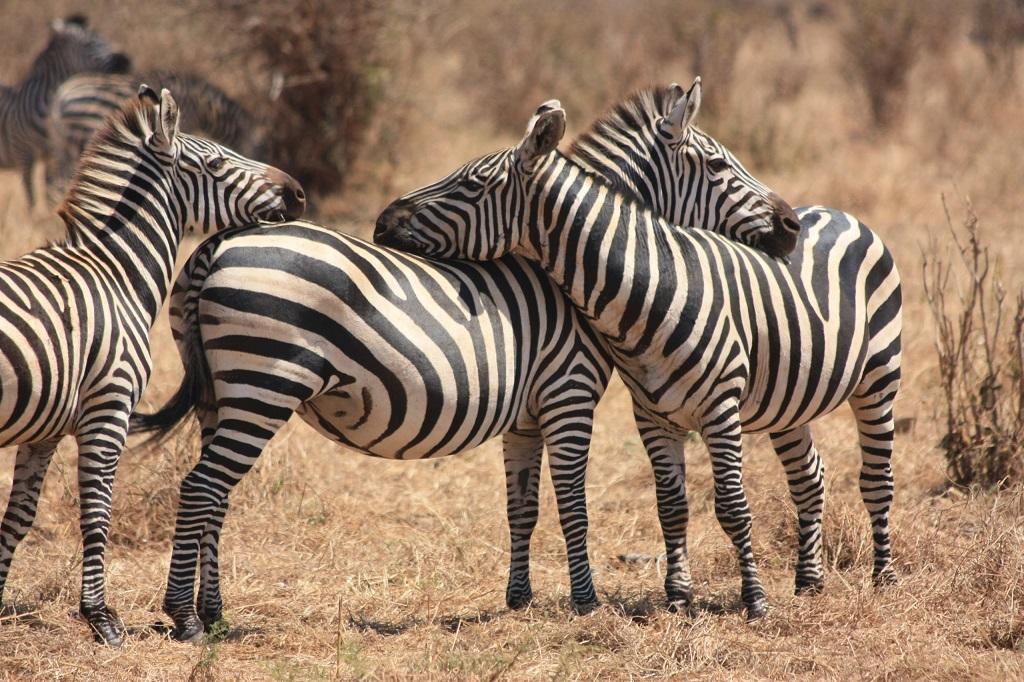 Parc du Tarangire - Tanzanie